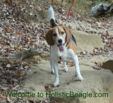 holistic beagle